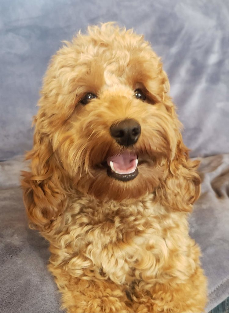sweet F1 Bella all grown upEcockapoo
