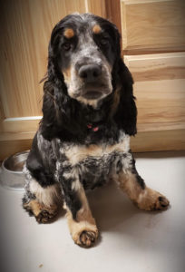 Jenga English Cocker Spaniel
